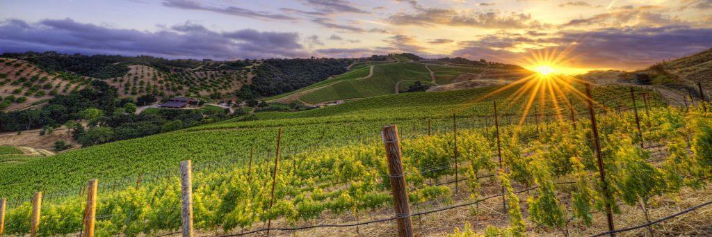 Sunset over field of grape vines